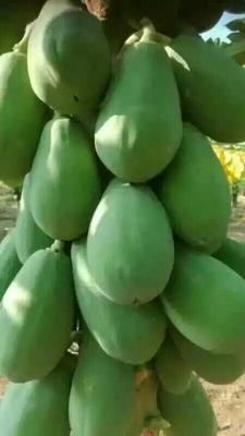 广西南宁大白木瓜 1.5 - 2斤