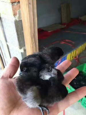 这是一张关于五黑一绿鸡苗 高产五黑一绿蛋鸡的产品图片