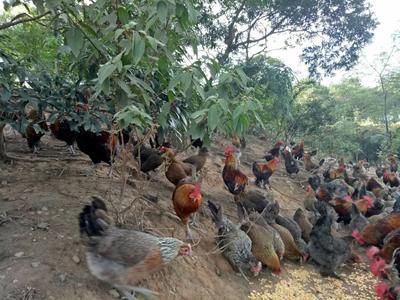 广西桂林鸡 3-4斤 公