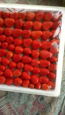 河北保定九九草莓 20克以上