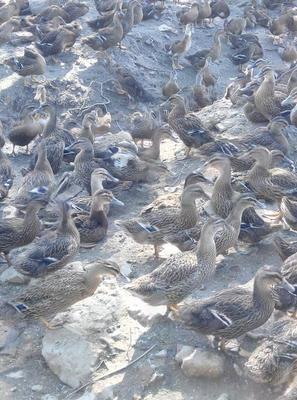 广东茂名水鸭 2-3斤 母