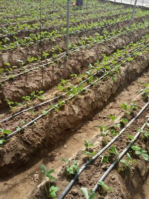 这是一张关于章姬草莓苗 10~20公分 地栽苗的产品图片