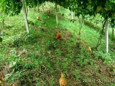 广西南宁紫红色百香果 60 - 70克
