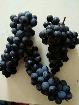 湖南省怀化市鹤城区高山葡萄