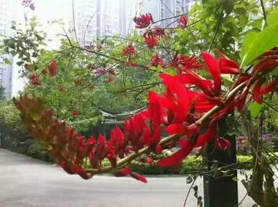 广西桂林荔浦县一串红