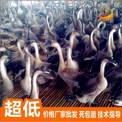 广西南宁马岗鹅苗 龙8国际官网网页版推荐,纯种鹅苗