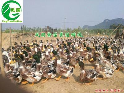 这是一张关于建湖杂交麻鸭苗 13877178215的产品图片