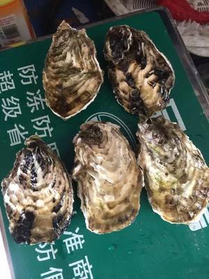 广东珠海福建生蚝 3-5只/公斤 人工殖养