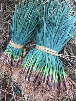 云南红河红根蒜苗 40 - 45cm