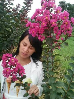 广西桂林红花紫薇