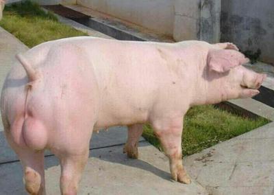 四川宜宾二元猪 60斤以上