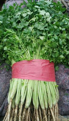山东泰安大叶香菜 25~30cm