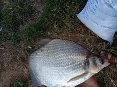 广东珠海池塘鳊鱼 人工养殖 1-1.5公斤