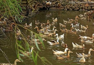 湖南永州土鸭 5-6斤 统货 鸭 土鸭