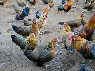 这是一张关于土鸡苗 桂林香鸡 青脚土的产品图片
