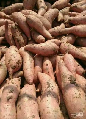 这是一张关于龙薯九号 3两以上 红皮的产品图片