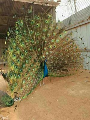 山东济宁蓝孔雀 哪里有卖孔雀的养殖场 孔雀多少钱一只