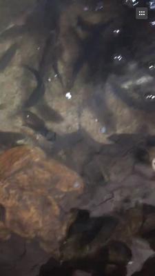 福建龙岩淡水石斑 0.5公斤以下 野生