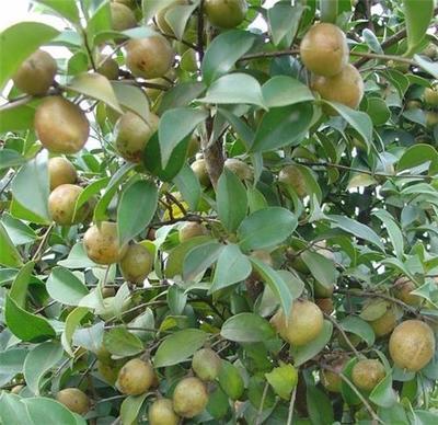 广西钦州油茶苗