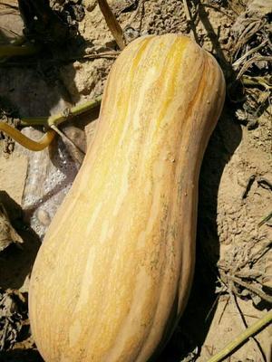 陕西省榆林市定边县牛腿南瓜 4~6斤 长条形