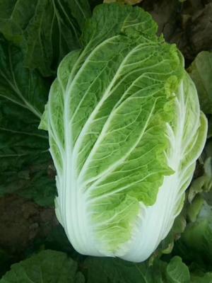 河南开封夏阳白菜 2~3斤 净菜