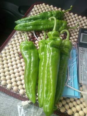 这是一张关于301泡椒 15~20cm 甜辣的产品图片