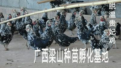 广西南宁贵妃鸡 统货 2斤以下 脱温