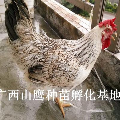 这是一张关于彩凤鸡苗 鸡苗的产品图片