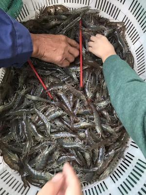 江苏南通南美白对虾 2-4钱 人工殖养