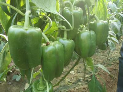 这是一张关于圆椒 10~15cm 甜辣的产品图片