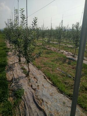 这是一张关于红富士苹果苗 2.5~3米的产品图片