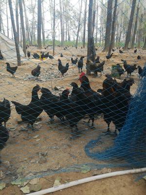 山东菏泽黑羽乌鸡 3-4斤