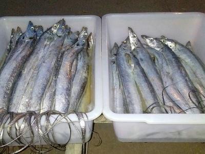 江苏盐城东海带鱼 野生 1-1.5公斤