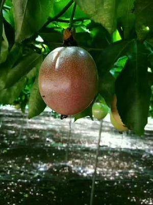 这是一张关于紫红色百香果 40 - 50克的产品图片