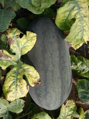 山东青岛平度市京欣西瓜 6斤打底 1茬 9成熟 有籽