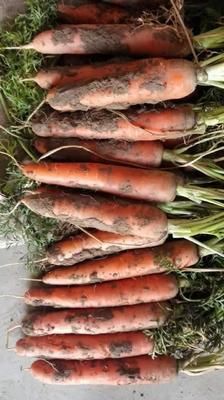 山东菏泽三红胡萝卜 15cm以上 3两以上 4~5cm