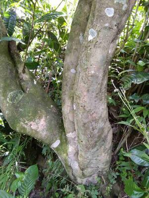 这是一张关于大树茶 散装的产品图片