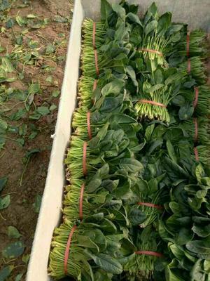 山东滨州名门菠菜 15~20cm