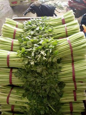 河北省邯郸市永年县美国文图拉芹菜 45~50cm 露天种植 0.5~1.0斤