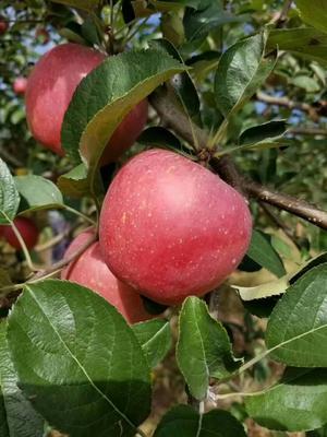 这是一张关于昭通苹果 80mm以上 光果 全红的产品图片