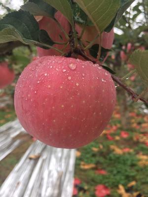 陕西延安洛川苹果 75mm以上 纸袋 条红