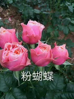 这是一张关于粉色玫瑰苗的产品图片