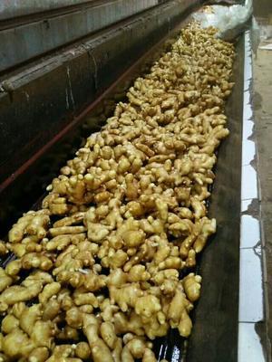 这是一张关于大黄姜 带土 5两以上 生姜 山东生姜产地批发价格的产品图片