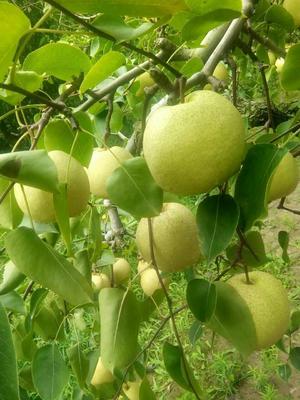 这是一张关于砀山酥梨 85mm以上 300-350g的产品图片