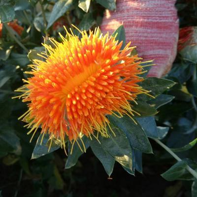 新疆塔城红花