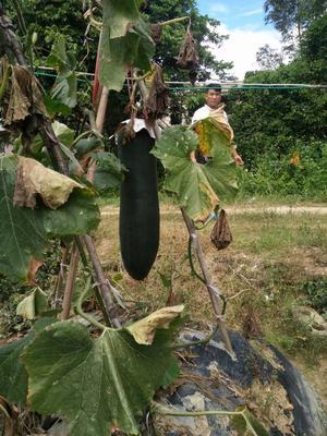 广西玉林吊冬瓜 20斤以上 黑皮