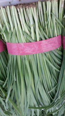河南安阳平韭6号韭菜 二茬 20~30cm