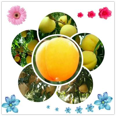 陕西咸阳黄金桃 70mm以上 4两以上