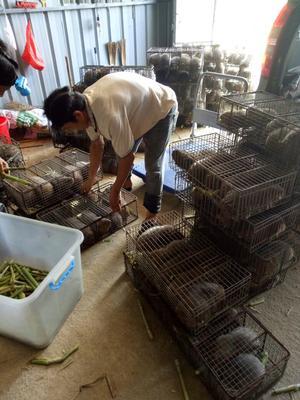 广西钦州中华竹鼠 1-2斤