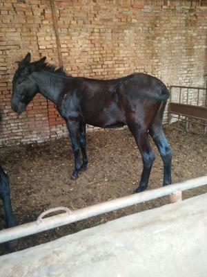 山东德州种驴 500斤以上 现在有十头种公驴出售,乌头七头,三粉3头